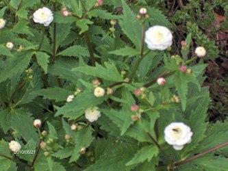 Stormhattsranunkel Ranunculus aconitfolius