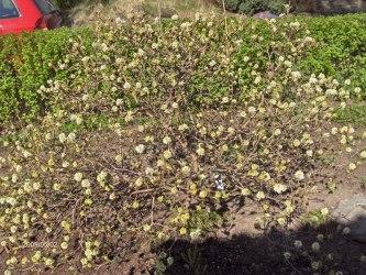 Häxal i blom Fothergilla gardenii