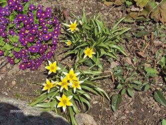 Vildtulpan Tulip tarda
