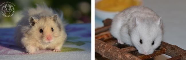 Här ser vi skillnaden på heterozygot silvergrå (bilden till vänster) och homozygot silvergrå (bilden till höger)