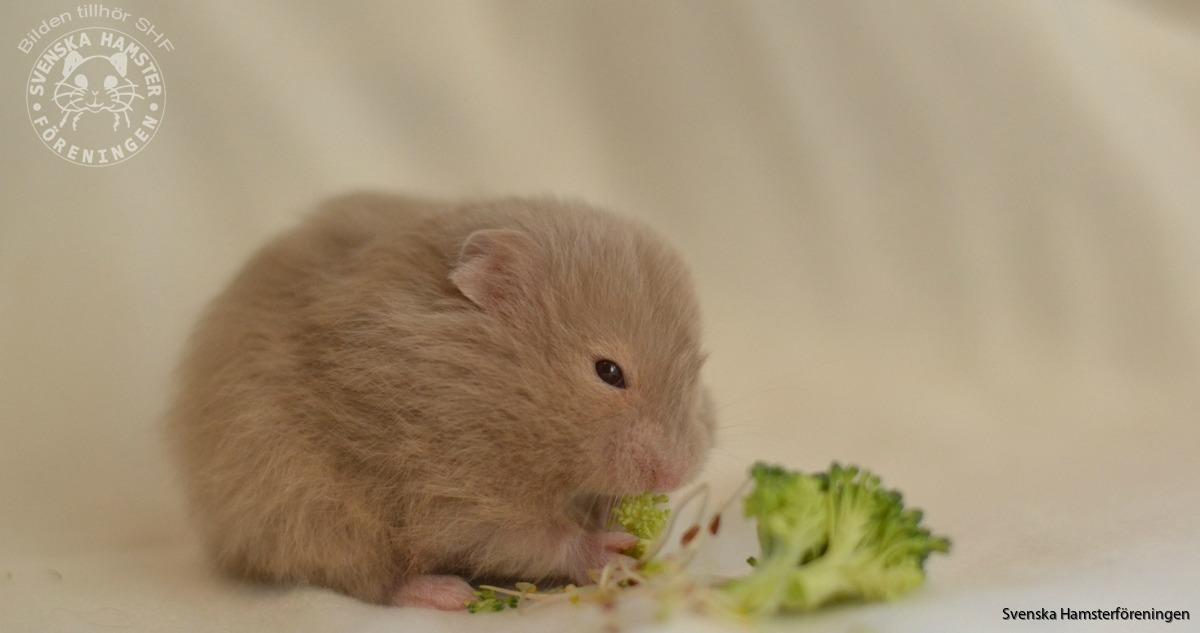 vad får hamstrar inte äta