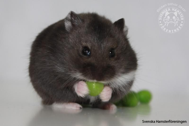 vad får hamstrar äta