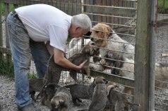 Här får vargarna hälsa på grand basset hundarna genom stängslet!