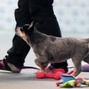 Valpkurs/unghundskurs för tävlingslydnadshunden steg 1