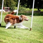 Agility Handling unghund - klass 1