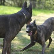 Webföreläsning Föreläsning: Hundars lek - ur olika synvinklar