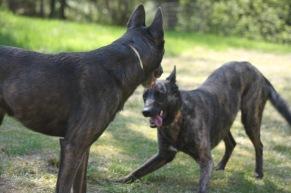 Webföreläsning Föreläsning: Hundars lek - ur olika synvinklar - Webföreläsning Föreläsning: Hundars lek