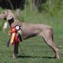 Hundutställning/handlertränare Online