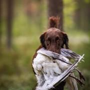 Grundkurs i apportering för den blivande jakthunden