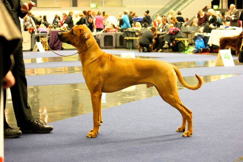 Akili best junior dog crufts qual. and 3rd  best male with CAC