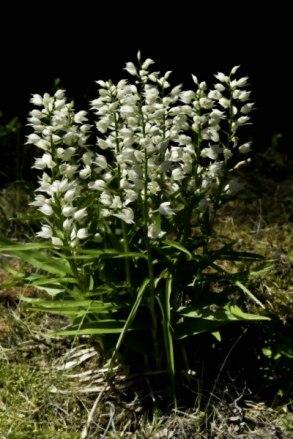 Vit Skogslilja  (Cephalanthera longifolia)