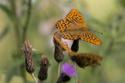 Pärlemofjärilar