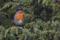 Rödhake i Enbärsskogen