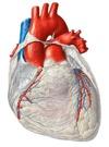 Hjärta och blodkärl