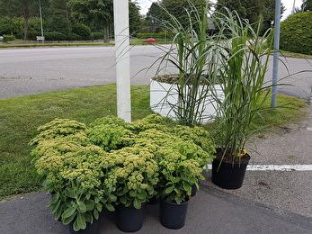 Växterna kommer direkt från odlaren. Här är en leverans till Munka lantmän som vill göra lite fina urnplanteringar inför hösten.