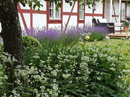 I förgrunden under päronträdet står det stjärnflocka och i bakgrunden blommar lavendel.