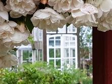 Honungsrosen hänger över portalen in till köksträdgården där växthuset är placerat.
