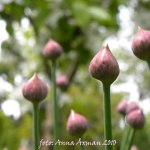 Blommor Morsdag 30 maj 2010 007