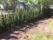 Tuijahäck planterad. Fint