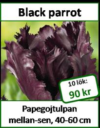 Black parrot, 10 lökar