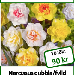 Narcissus mix, 10 lökar
