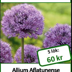 Allium, 5 lökar