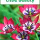 Little beauty, 10 tulpanlökar