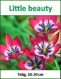 Little beauty, 10 tulpanlökar -