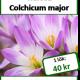 Tidslösa, Colchicum major