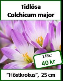 Tidslösa, Colchicum major -