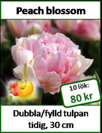 Peach blossom, 10 tulpanlökar -