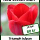 Red Westfrisian, 10 tulpanlökar