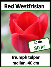 Red Westfrisian, 10 tulpanlökar -