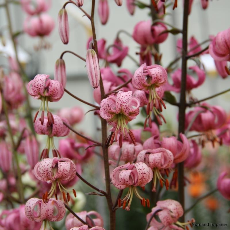 Lilium martagon 2