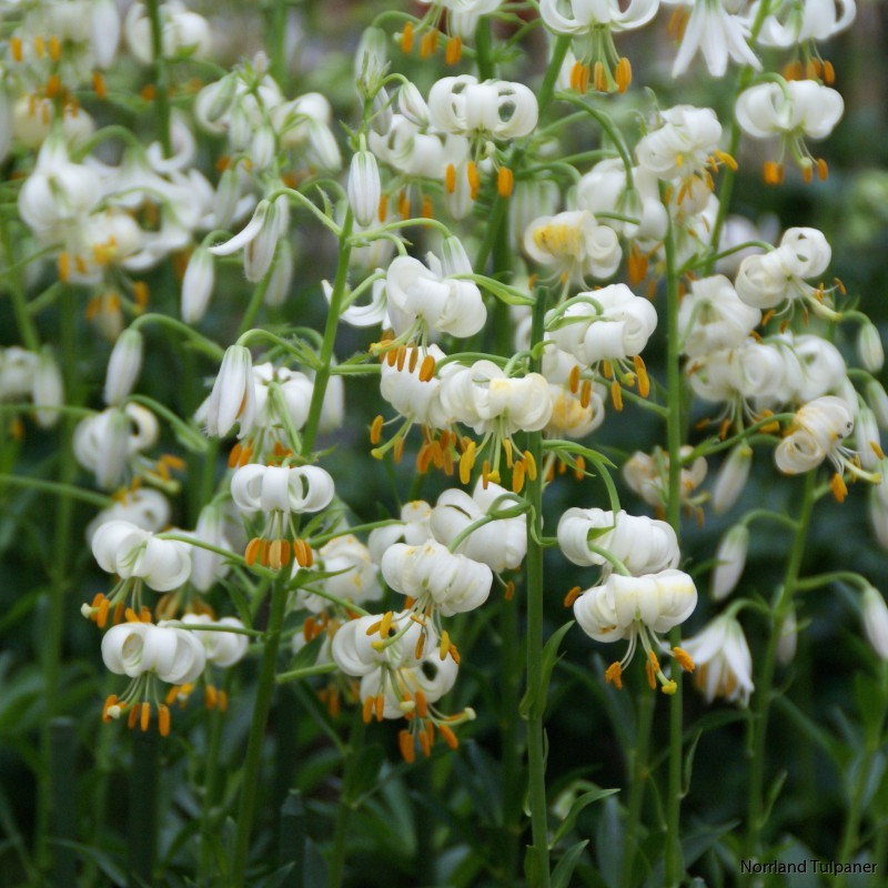 lilium-martagon-snowy-morning-7441