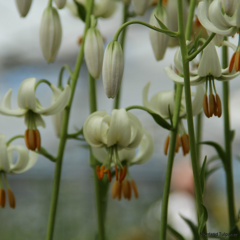 lilium-martagon-snowy-morning
