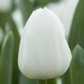 Tulpaner: White flag (10 lökar)