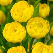 Tulpaner: Yellow Pompenette (10 lökar)