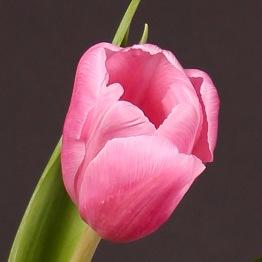 Tulpaner: Jumbo pink (10 lökar) - 10 tulpanlökar