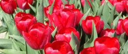 Tulpaner: Red power (10 lökar) - 10 tulpanlökar