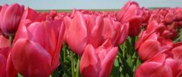 Tulpan: Sweet rosy - 10 tulpanlökar