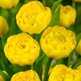 Tulpaner: Yellow Pompenette (10 lökar) - 10 tulpanlökar