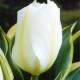 Tulpaner: Purissima (10 lökar) - 10 tulpanlökar