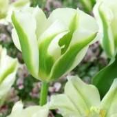 Tulpaner: Spring green (10 lökar)