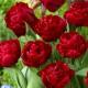 Tulpaner: Red baby doll (10 lökar) - 25 tulpanlökar