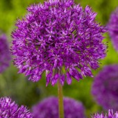 Allium: Purple sensation, lök storlek 14/16