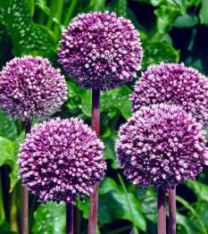 Allium: Summer drummer, lök storlek 12/14 - 5 tulpanlökar