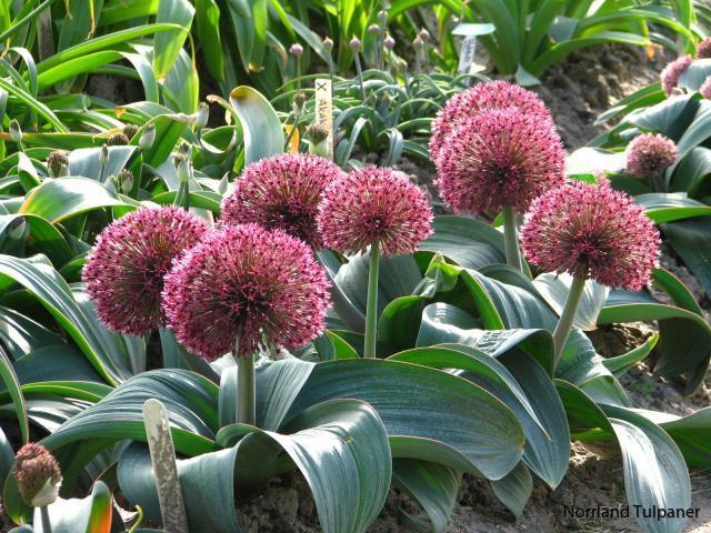 Allium_karataviense_2