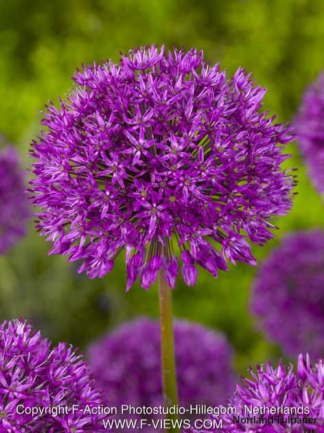 allium-purple-sensation_19