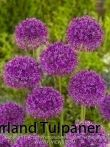 allium-purple-sensation-fa2_56